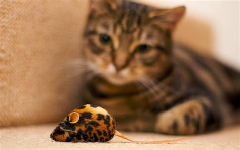 cat rat wallpaper cat and mouse toy wallpaper 1920x1200 6748 wallpaperup