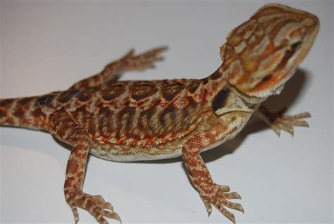 bearded colors 20 different types of bearded dragons with colors