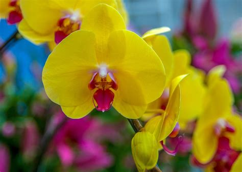Orchid Yellow free photo orchids yellow beautiful flowers free