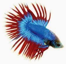 Harga Pakan Ikan Cupang tips ikan hias cara mengawinkan ikan cupang ikan cupang
