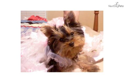 yorkie rescue ottawa year yorkie puppies i am lucky a social with 12 year 8 25 best