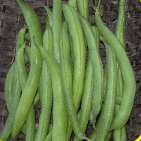 tendergreen beans green bean seeds everwilde farms