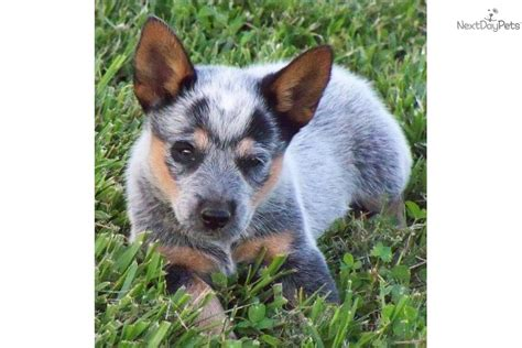mini blue heeler puppies for sale australian cattle blue heeler puppy for sale near chattanooga tennessee