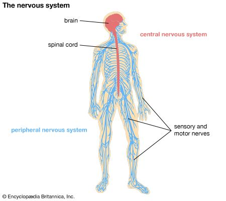 diagram of central and peripheral nervous system nervous system students britannica homework help