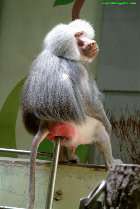 scimmia sedere rosso baboon takin a