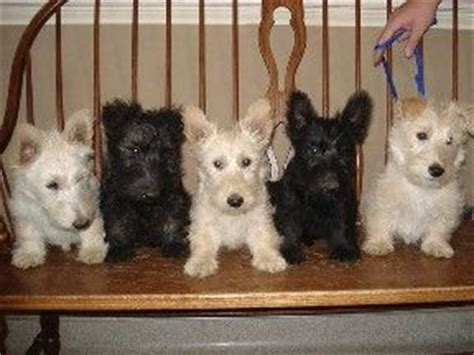 scottish terrier puppies for sale ohio 25 best ideas about scottish terriers on scottish terrier scottie dogs
