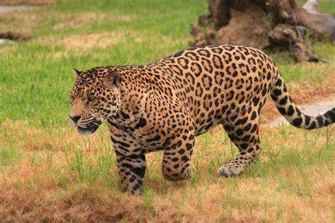 jaguar pattern house cat jaguar facts big cat rescue