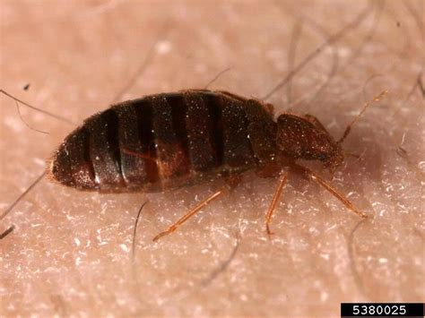 pictures of bed bugs on humans bed bug cimex lectularius on human homo sapiens