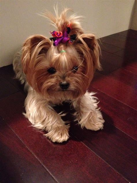 yorkie top knot 58 best terriers images on