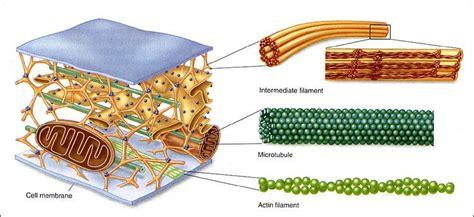 3 proteins in cytoskeleton 2 biology 1020 with sasek at of
