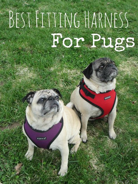 for pugs the best fitting harnesses for pugs puppia ritefit review from doggie couture shop