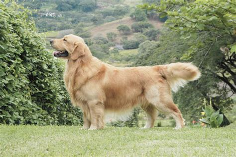 big golden retrievers big golden retriever images frompo 1