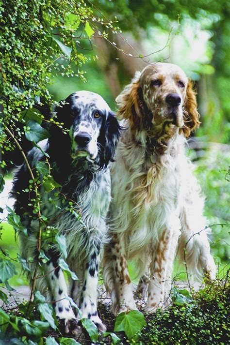 english setter dog images 20 dog breeds who d be thrilled to be your work out bud