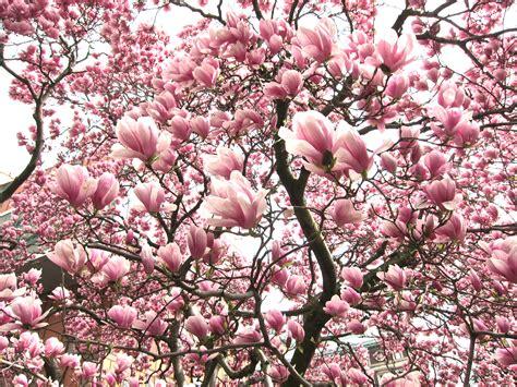 pink magnolia flowers nature pinterest