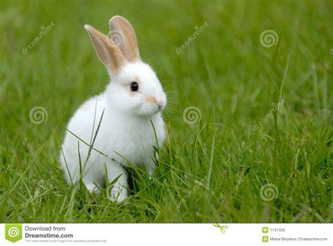 34 Punny White white rabbit on the grass stock image image of animals