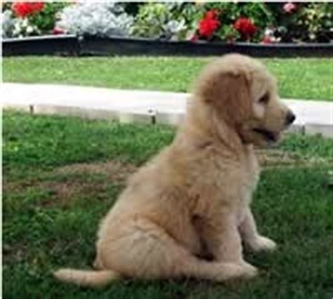 pin by duper cooper on golden doodle