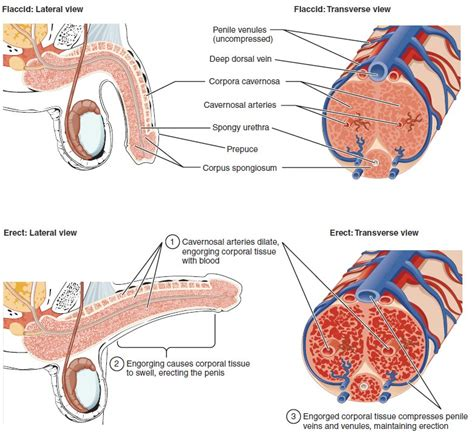 cross section penis anatomy and physiology of the male reproductive system