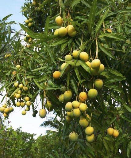 bonsai alphonso mango tree live plant all climate all