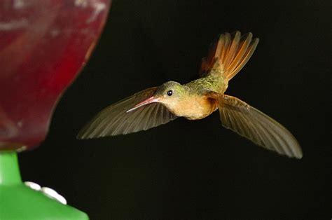 traversbelize com do hummingbirds fly at night