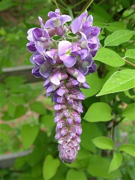 wisteria flower wisteria flower