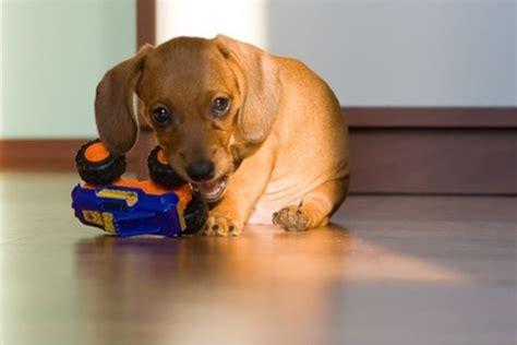 puppies lose teeth puppies lose baby teeth on information puppies losing baby teeth