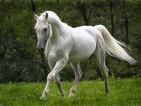 Kuda Putih   Ragam Informasi