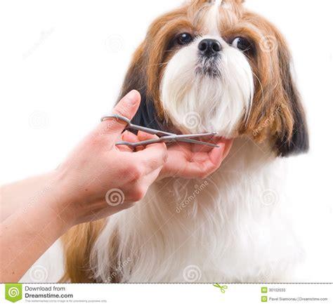 photo de shih tzu toilett toilettage du chien de shih tzu image stock image du