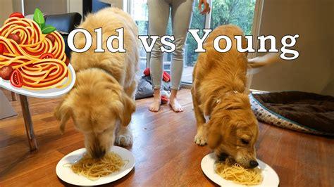 golden retriever spaghetti golden retriever spaghetti race spaghetti contest vlog 39