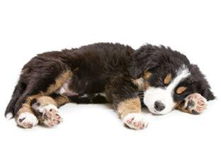 histiocytic sarcoma in dogs histiocytic sarcoma test antagene