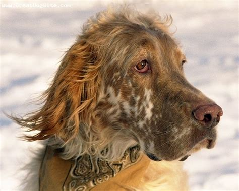 48 best images about english setter on pinterest 48 best images about english setter on pinterest