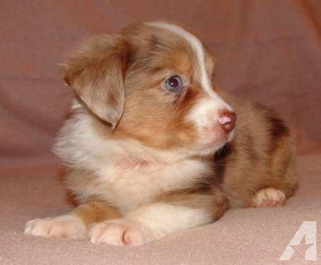 mini aussie puppies for sale in california 25 best ideas about aussie puppies for sale on mini aussie for sale mini