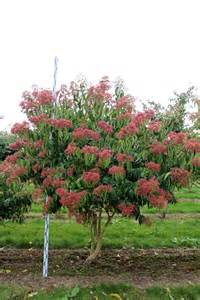 Most Beautiful Flowering Shrubs - heptacodium miconioides solitairen pinterest trees flower tree and flower