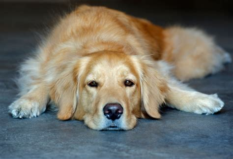 golden retriever length golden retriever lying stock photo getty images