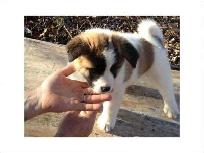 akita puppies for sale nj pedigree akita puppies for sale