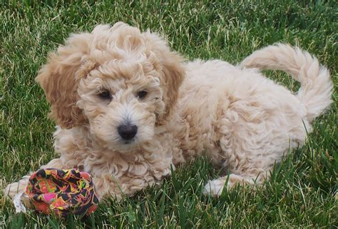 mini goldendoodle information liz as a puppy s charming goldendoodles