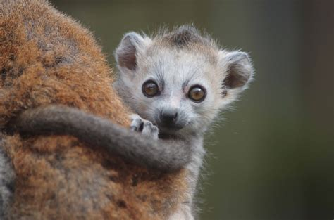 baby lemur page not found twycross zoo