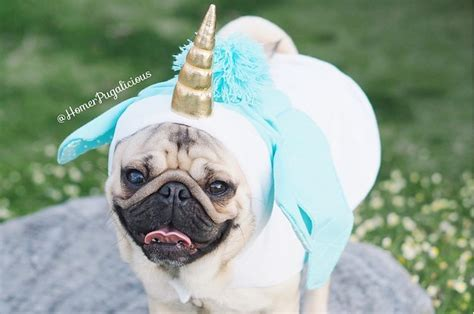 buzzfeed pugs this pug has the most adorable costumes
