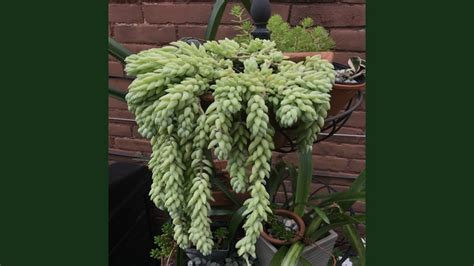 jenis jenis tanaman hias gantung  mudah dirawat kepogaul
