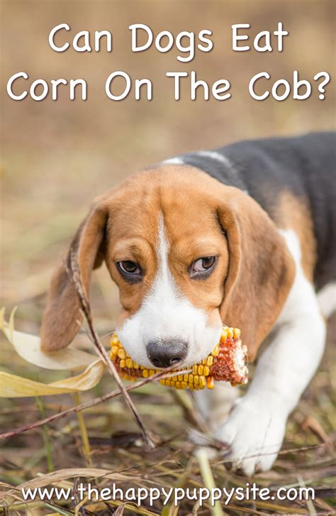 corn on the cob for dogs can dogs eat corn on the cob canned corn or corn kernels