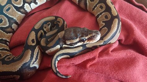 Snake Won T Shed by Python Has Some Shed Stuck On Its What Do I