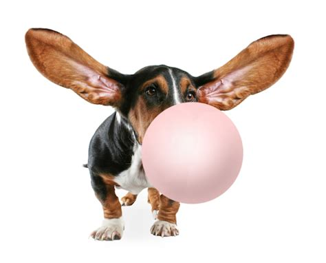 can dogs eat gum fda warning popular artificial sweetener could prove fatal if ingested by dogs
