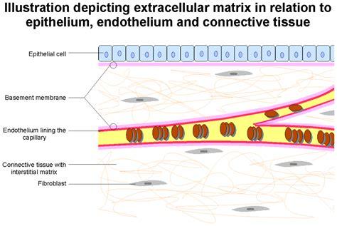 basement membrane of epithelial tissue extracellular matrix