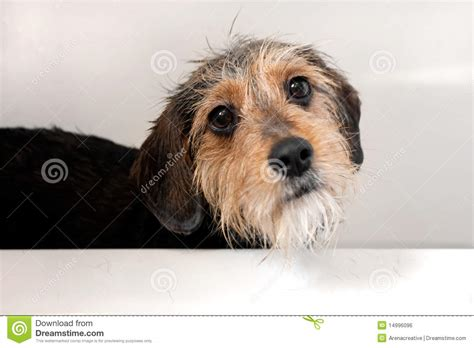 dogs in the bathtub dog in the bath tub royalty free stock image image 14996096
