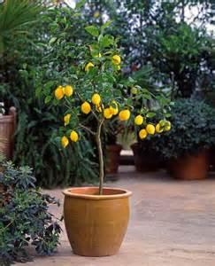 citronnier vulcan achat citrus limon vulcan willemse