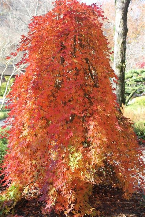 maple tree buy de 25 bedste id 233 er inden for acer palmatum p 229 havedesign landskabsdesign og buske