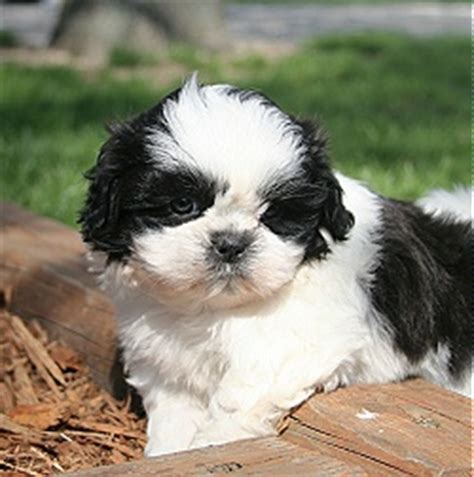 i want to buy a shih tzu puppy puppies for sale puppy breeders