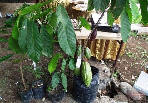 Benih Cendana galakkan benih lokal dalam peremajaan kakao cendana news
