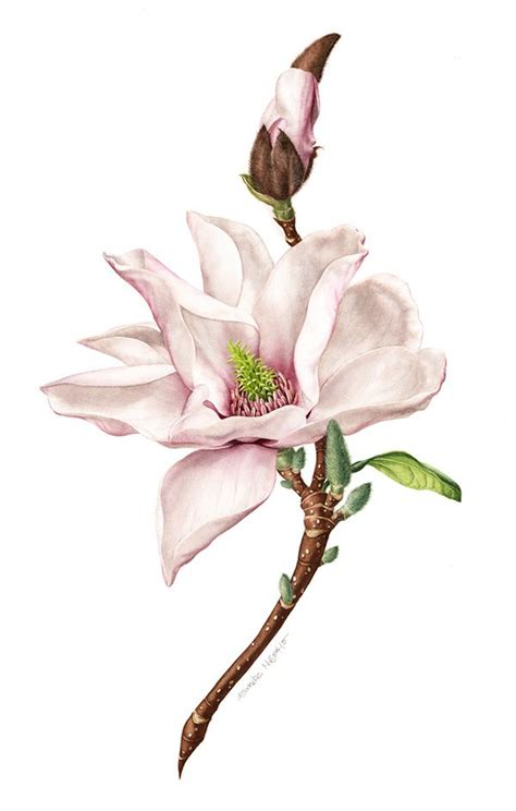 printable magnolia flowers 17 best images about magnolia on pinterest flower