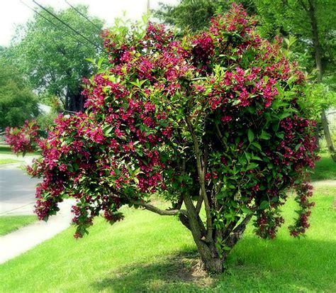 weigela florida bristol ruby super flower power roots