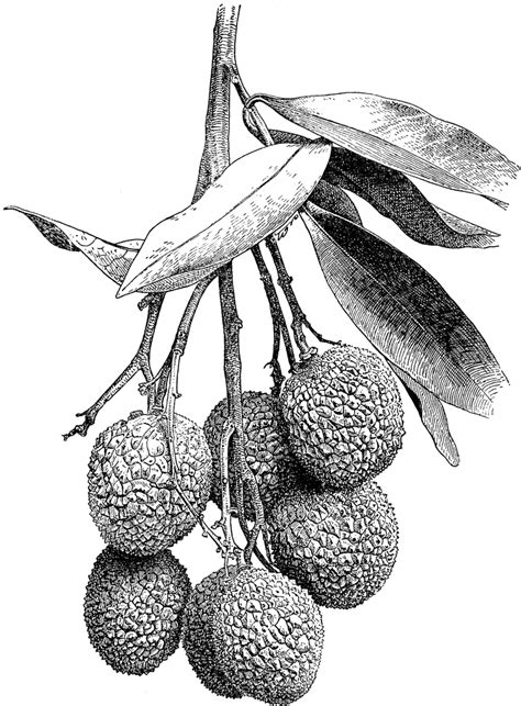 lychee fruit drawing litchi clipart etc